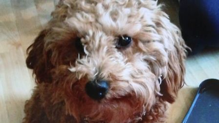 Lisa Reeves' toy poodle Milo was brutally killed by a pitbull in Loxford Park last week