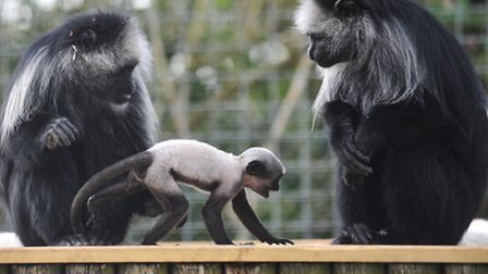 Africa Alive at Kessingland is celebrating the arrival of a baby colobus monkey.