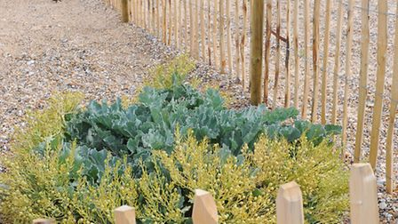 Before the damage at Gunton Warren reserve. Sea Kale growing in a protected area to encourage it to