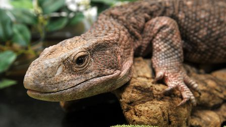A Monitor Lizard, similar to the one that was spotted numerous times in the River Roding in 1977. Ph