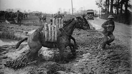 Battle of Pilckem Ridge (opening attack of the Battle of Passchendaele). Two pack mules carrying she