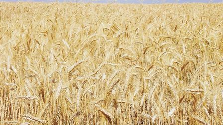 The wheat belt. Picture: Ralph Blackburn