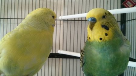 Two budgies were saved from a house fire in Ilford in 1977. Photo: Calvin Hogg/ Wikimedia Commons