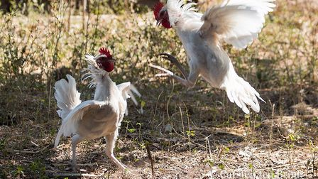 Stock photo of a cock fight (credit: Carsten Ten Brink/Flickr under a Creative Commons License)