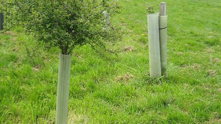 The trees before they were vandalised at Marram Green, in Kessingland.