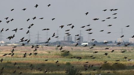 Until the 19th century, the Essex marshes were notorious for ague, a shivering fever like malaria, s