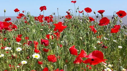 Poppies in Southwold- Picture of the Week Winner