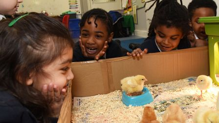Reception children at St Augustine's Infant School looking after the chicks that had hatched in clas