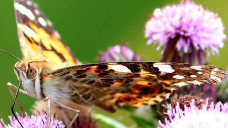Painted lady at NWT Hickling Broad as captured by RICKY CONE, of OULTON BROAD