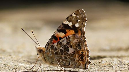 A painted lady butterfly was captured by Picture of the Week winner Sue Dale.