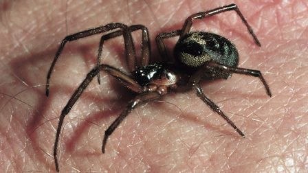 False widow spider infestations have closed several schools in Newham. Pic: The Natural History Muse