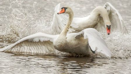 WINNER: Keen amateur wildlife photographer Kevin Coote's Picture of the Week winning photo of fighti