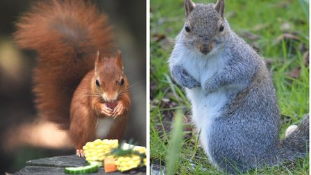The UK's native red squirrels lost the battle to imported American grey squirrels. Photos:Ian Burt a