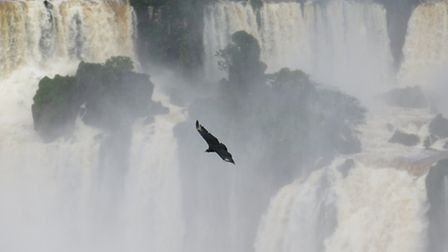 A black vulture flying in front of the waterfalls at Iguazu Falls on the Brazil/Argentina border. Pi