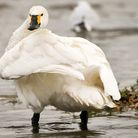 A swan is cauing delays to customers on the train. The bird is the photo is not the same bird that i