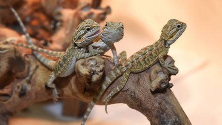 Bearded dragons at the Reptile Ranch