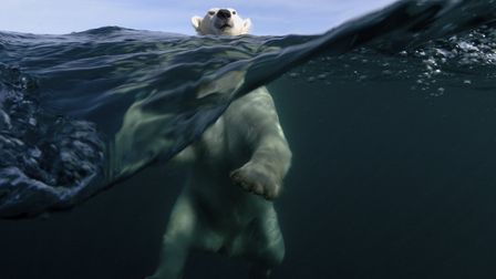 Rising Tide: Polar bears have become the emblem in the fight against climate change. Joe Bunni/ Gett