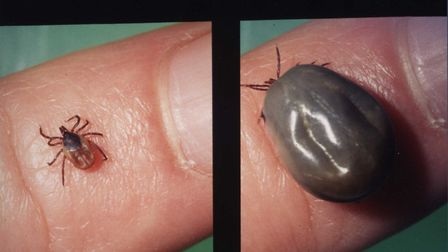 A tick before and after feeding. Picture: UEL