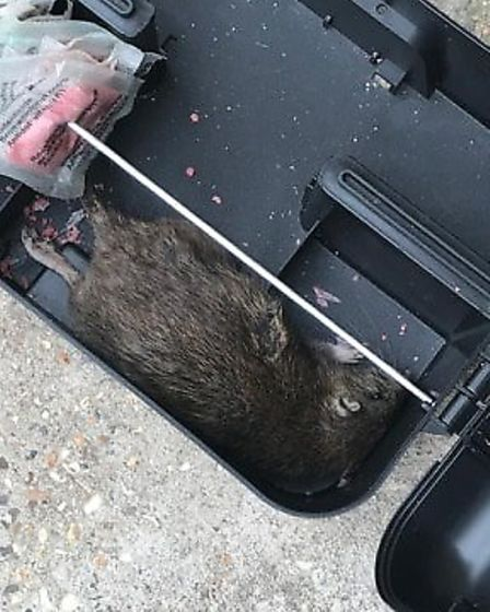 A rat found in the garden after it was baited by the council's contractor. Picture: Sophie Lewis