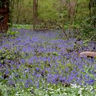 Bluebells in Claybury Park in late spring. Picture: Ron Jeffries