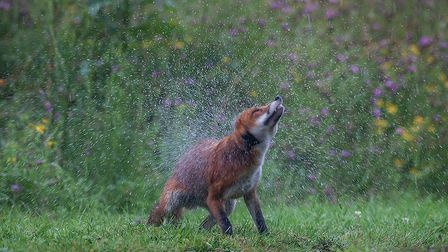 �A Wildlife Motion Picture� was won by David Blackwell�s well-timed image of a shaking fox.