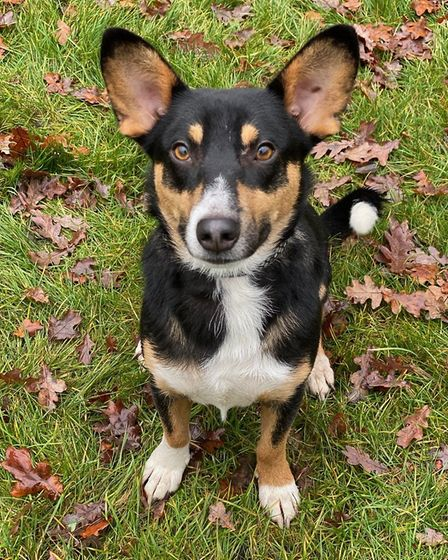 Ralphie is a cross breed, about the size of a corgi but with longer legs.