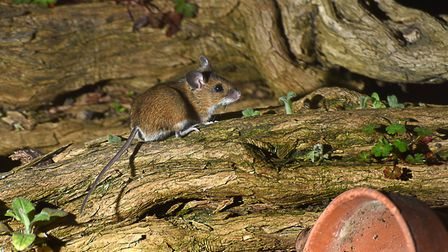 This woodmouse was photographed by John Smith in his Romford garden.