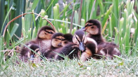 Peter Barrett, of Hornchurch, photographed these ducklings on his morning dog walk.