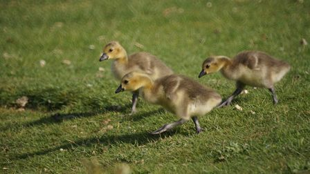 These goslings were photographed by John Tyler, of Romford.