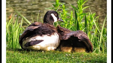 Peter Barrett, of Hornchurch, photographed this mother goose protecting her young in Langtons Garden