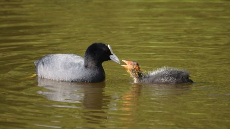 A mother coot feeds her youngster, pictured by John Tyler, of Romford.