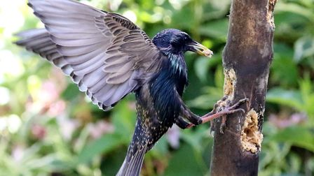 This dramatic picture of a starling was taken by Stephen Window, of Hornchurch, in his garden.