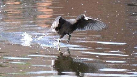 Alison Braun took this action shot on the pond at Platford Green, Hornchurch.