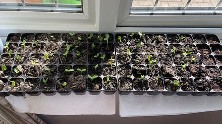 The boys, with some help from their parents Nicola and Matthew, germinated the plants on their windo