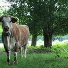 Cattle are returning to Wanstead Park after an absence of 150 years. Picture: John Phillips/City of