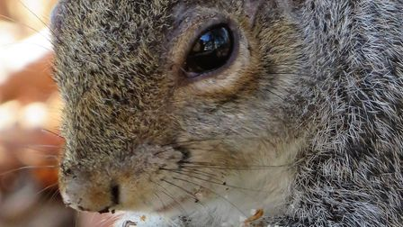 Lowestoft picture of the week - Center Parks squirrel. Photo: Hayley King