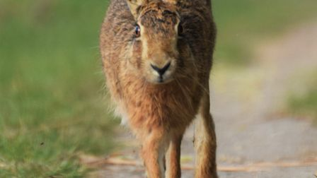 Sue Dale's photo of a brown hare at Carlton Marshes.