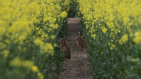 Val Bond's photo of two hares in a field at Ravenigham.