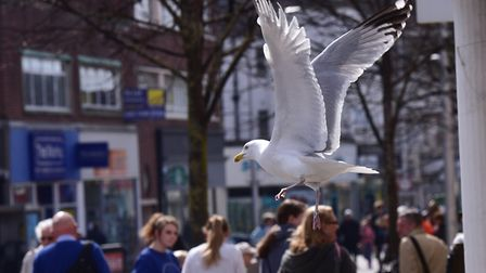 Seagulls in Lowestoft town centre.PHOTO: Nick Butcher