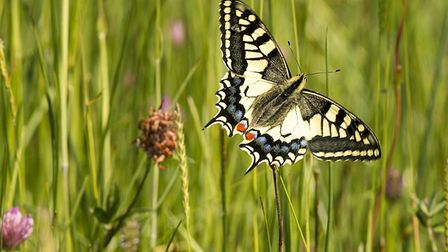 A swallowtailed butterfly in the wildflower meadow at Shrumpshaw Fen. Photo: Trevor Thompson.