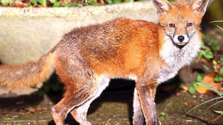 Urban foxes are no longer afraid of humans, sparking fears of further attacks. Picture: PA