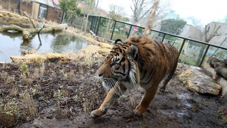 Jae Jae looks at his new home as the new Tiger enclosure at London Zoo is officially opened. Picture