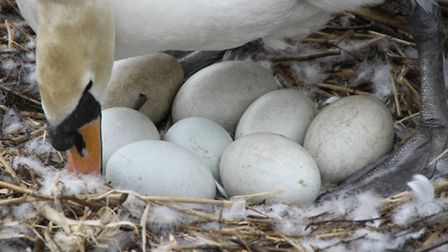A swan has laid eight eggs on Hampstead Heath - will it break the all-time record of nine?