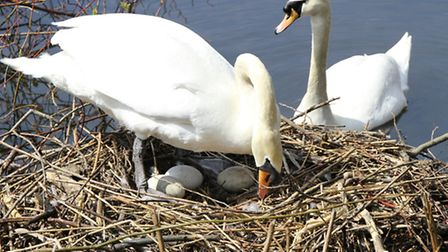A swan has laid three eggs on Hampstead Heath. Picture: Ron Vester