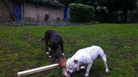 The two dogs, believed to be Staffordshire bull terriers, inspect the fox after killing it on the Hi