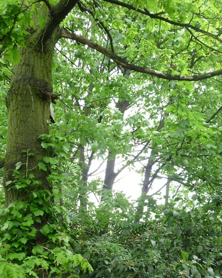 The trees before felling.