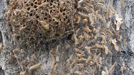 The poisonous oak processionary caterpillars. Picture: Forestry Commission