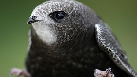 Waveney Bird Club has unveiled a new project aimed at drawing people's attention to the plight of sw