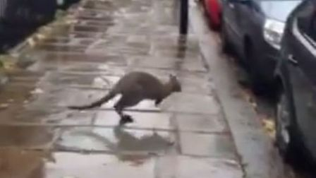 The wallaby was spotted by residents hopping around the streets in Dartmouth Park. Picture: James St