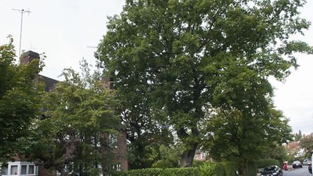The 300-year-old oak tree in Corringham Road that is the centre of a planning row. Picture: Nigel Su